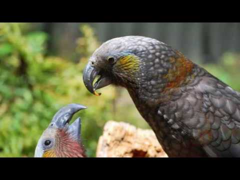 Wild Keas parrots: large species that engage in playful behavior.