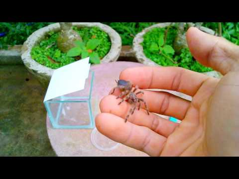 Nhện Tarantula, người bạn mới (tarantula, a new friend)