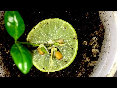 Key Lime Tree From Seed🍋