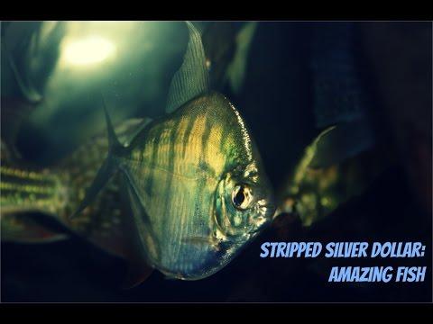 Striped Silver Dollar: Amazing Fish
