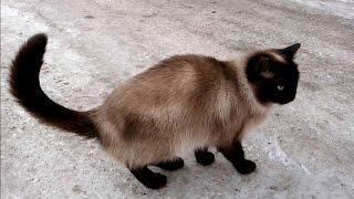 Кошка сиамская или тайская?