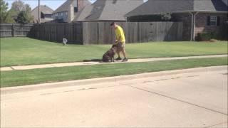 Stella - Chocolate Lab - Tulsa Oklahoma Dog Training