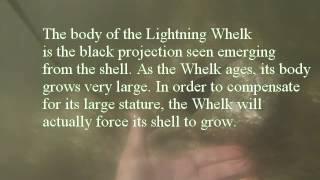 JN Ding Darling NWR: Giant Lightning Whelk near Wulfert Keys