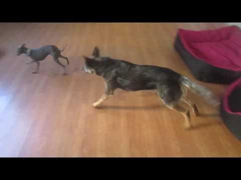 Australian cattle dog Bona is playing with italian greyhound Iris