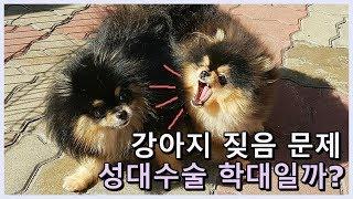 강아지 성대수술은 학대일까? 강아지 짖음으로 성대수술을…