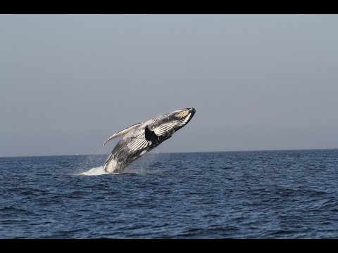 Arabian Sea Humpback Whale (English) Environment Society of Oman ESO