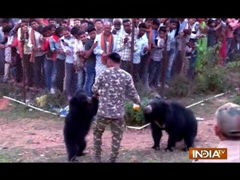 Bear visit Chandi