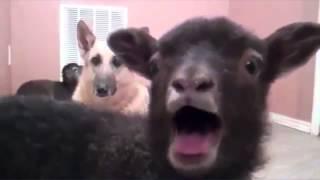 """O-Zone - Dragostea Din Tei """"Numa Numa"""" (Goat Remix)"""