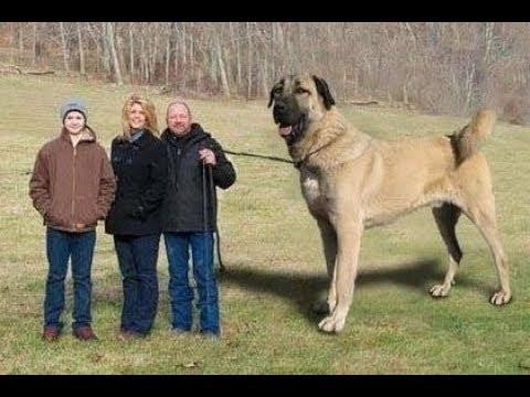 World Biggest Sheperd Dogs - Dünyanın En Büyük Çoban Köpekleri - Dev Anadolu Aslanları