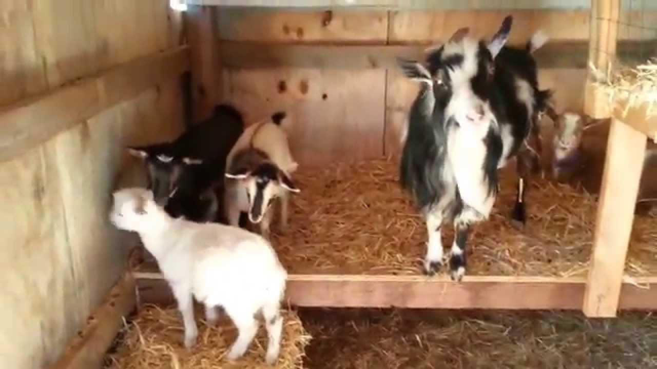 Inside The Scrapwood Barn Goat Loft Area At Millers View Mini Farm
