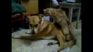 Кот насилует собаку))).avi