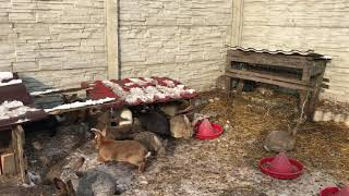 Кролики на снегу-2. Growing rabbits in free-range in winter