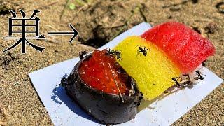 アリの巣に寿司置いて放置  PDS