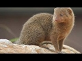 Mongoose in the Dhaka city (বেজি)