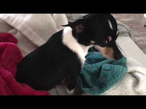 Bad Kennel Cough - Chihuahua / Miniature Pinscher