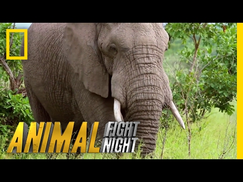 An Elephant Smack Down | Animal Fight Night