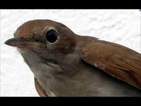 Pienet Linnut
