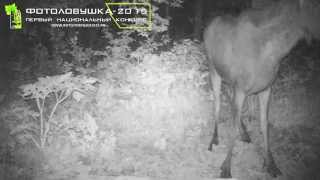 id234 нац парк башкирия драка лосей
