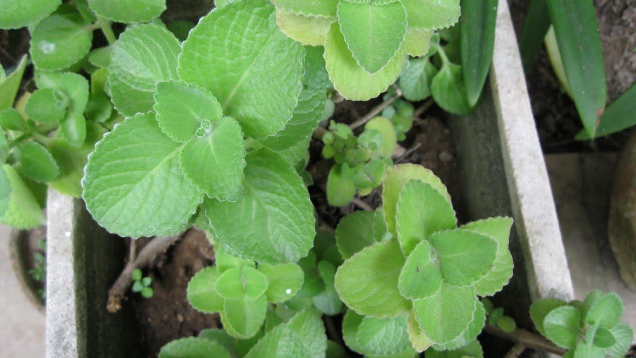 Hasil gambar untuk Manfaat dan cara mengolah daun jinten