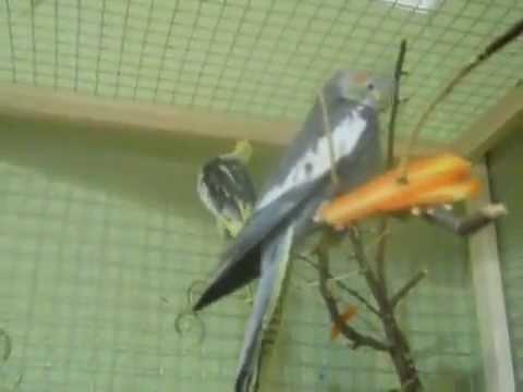 Как определить пол попугая Нимфа - Корелла 1. Как определить самец или самка.