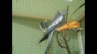 Как определить пол попугая Нимфа - Корелла 1. Как определить самец или самка.(Кореллы. Как определить мальчик или девочка, самец или самка. Как определить пол попугая Нимфа - Корелла...., 2014-11-03T13:35:05.000Z)