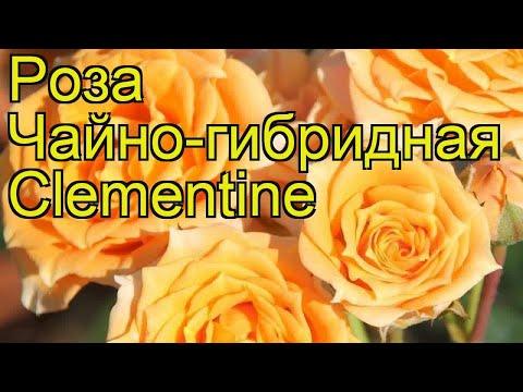 Роза чайно-гибридная Клементин. Краткий обзор, описание характеристик, где купить саженцы Clementine