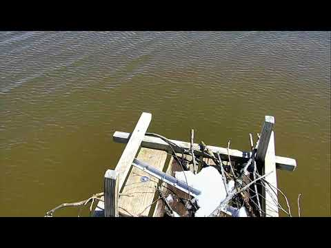 Osprey Nest - Chesapeake Conservancy Cam 03-22-2018 09:50:47 - 10:50:48