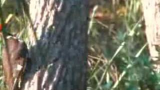 Pilleated Woodpecker mating ritual