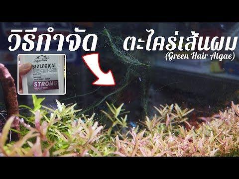 WongAqua - วิธีกำจัดตะไคร่เส้นผม   Green Hair Algae  
