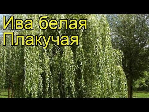 Ива белая Плакучая. Краткий обзор, описание характеристик, где купить саженцы salix alba Plakuchaya