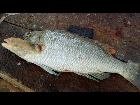 RED THROAT EMPEROR FISH CUTTING | ඌරුහොටා
