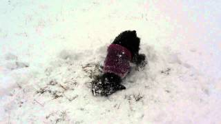 Miniature Schnauzer Loves Snow