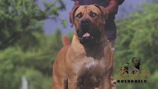 Best Videos SOUTH AFRICAN BOERBOEL In The World...