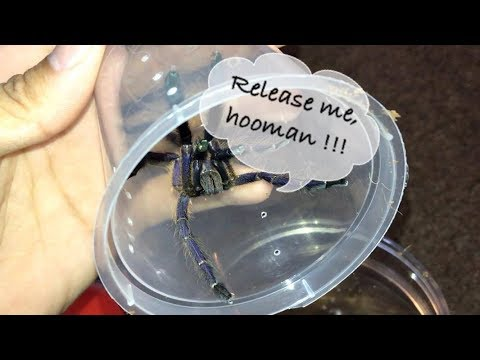 Packing a Singapore Blue Tarantula for Shipping !!!