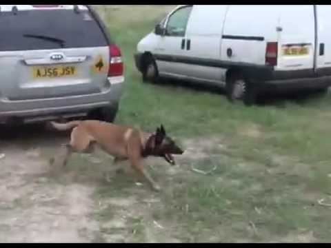 german-shepherd-well-trained!!!(tactical-obedience-need-one/watch-till-the-end)