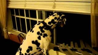 Kenidy The Dalmatian - Barking At Something In The Night.
