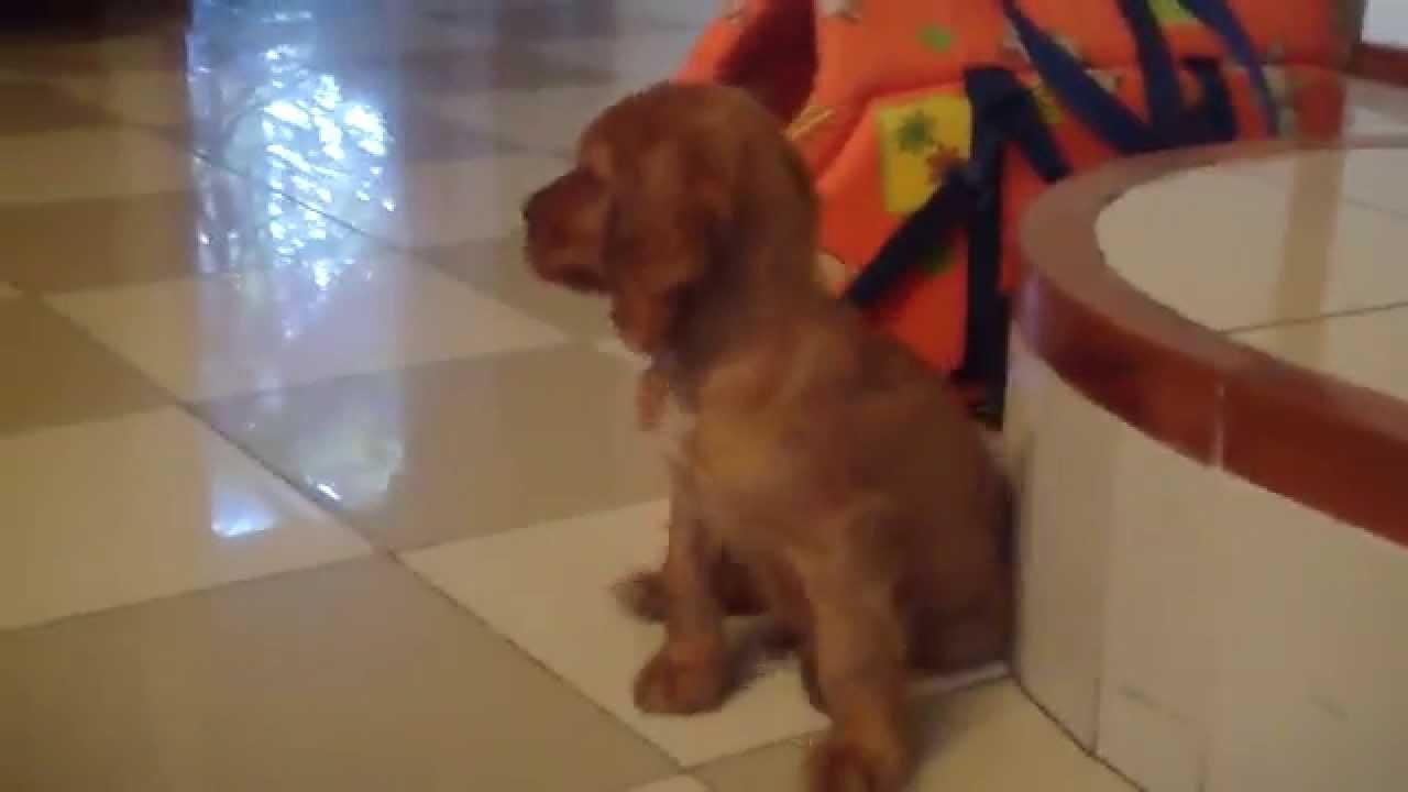 Cucciolo Cocker Spaniel In Vendita A Milano Youtube