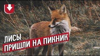 «Эй, не наглей!». На пикник к жителям Ставрополя пришли лисы, животные настойчиво просили еды