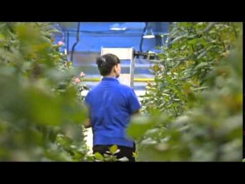 Розы, орхидеи, кактусы, ели, сосны объявления о продаже цветов, комнатных растений, семян и саженцев в екатеринбурге на avito.