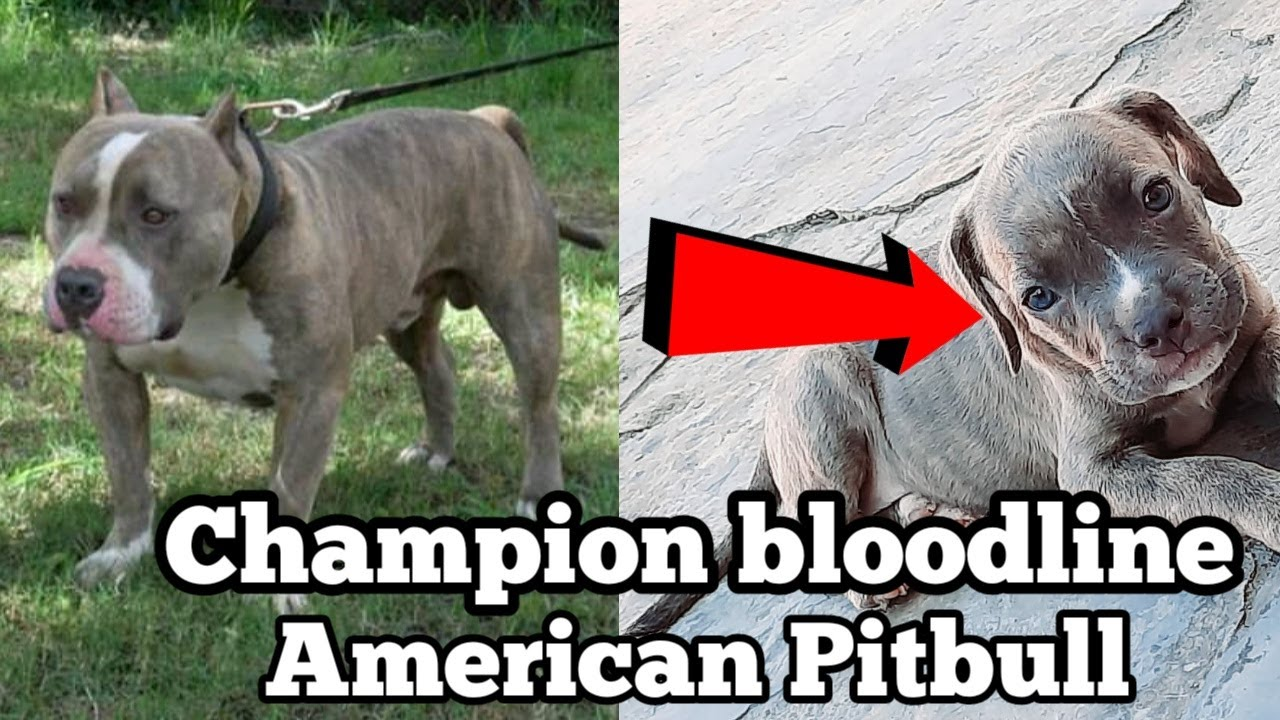 Champion Line American Pitbull Blue eyes puppy for sale| kCI registered American Pitbull for sale|