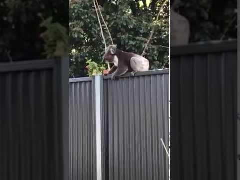 Funny Flying Koala Part 1
