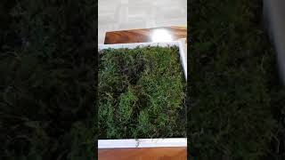 산양산삼을 오동나무박스에 포장해 드립니다.