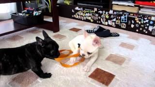 フレブルパークのフレンチブルドッグ 子犬販売 2012/10/29生まれ クリー...