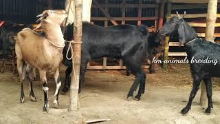 Giant red goat vs big billy-goat। Bakri crossing। km animals breeding
