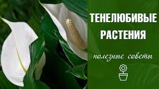 Тенелюбивые комнатные растения ☘ названия и особенности ☘  hitsadtv