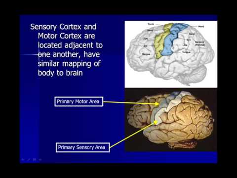 Neuroscience: The Cerebral Cortex