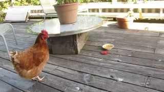 Chicken watching Herself on video