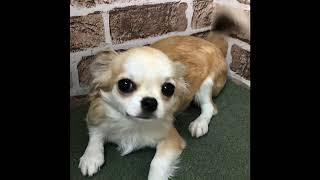 ペットショップ 犬の家 川西店 「品種名チワワ」 thumbnail