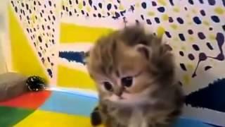 Персидские котята    смотреть бесплатные видео приколы онлайн1