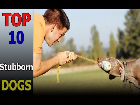 Top 10 stubborn dog breeds | Top 10 animals
